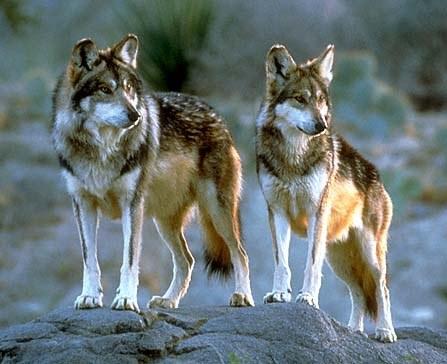 lobo pair cropped