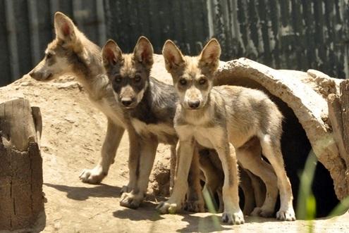 lobo-mexicano-san-juan-lobo pups aug 2013495x331